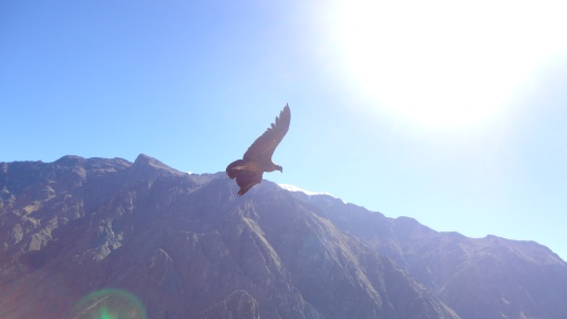 Watching the condors soar in Colca Canon