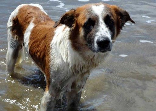 Street dog playing in the ocean; San Juan del Sur, Nicaragua