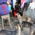 Street dogs begging in the market; Juayua, El Salvador