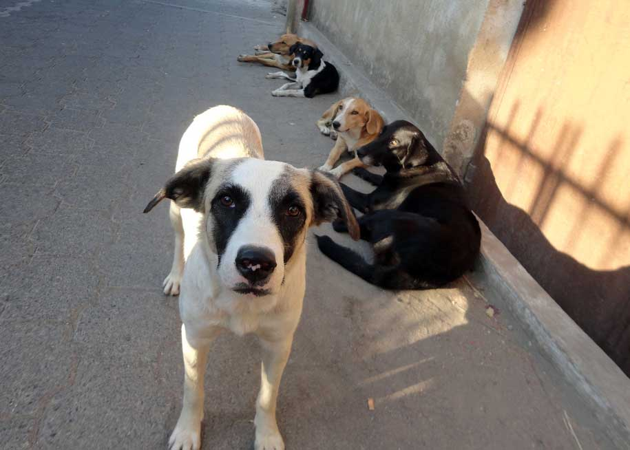 Posse of street dogs in San Pedro, Guatemala