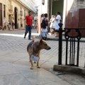 "Dog ""claimed"" to a neighborhood in Havana, Cuba"