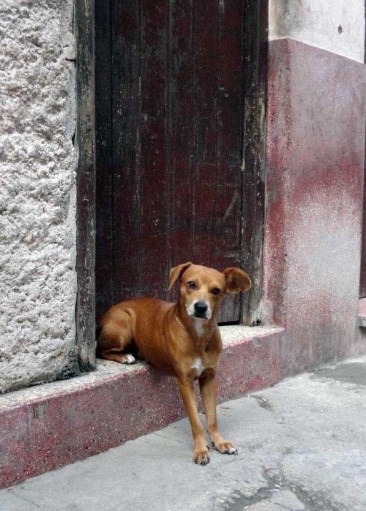 Dog on a stoop in Havana, Cuba