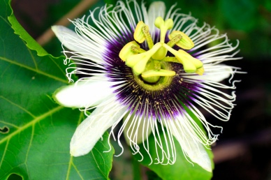 The flower of a passionfruit