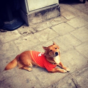 A Vietnamese dog, wearing clothes