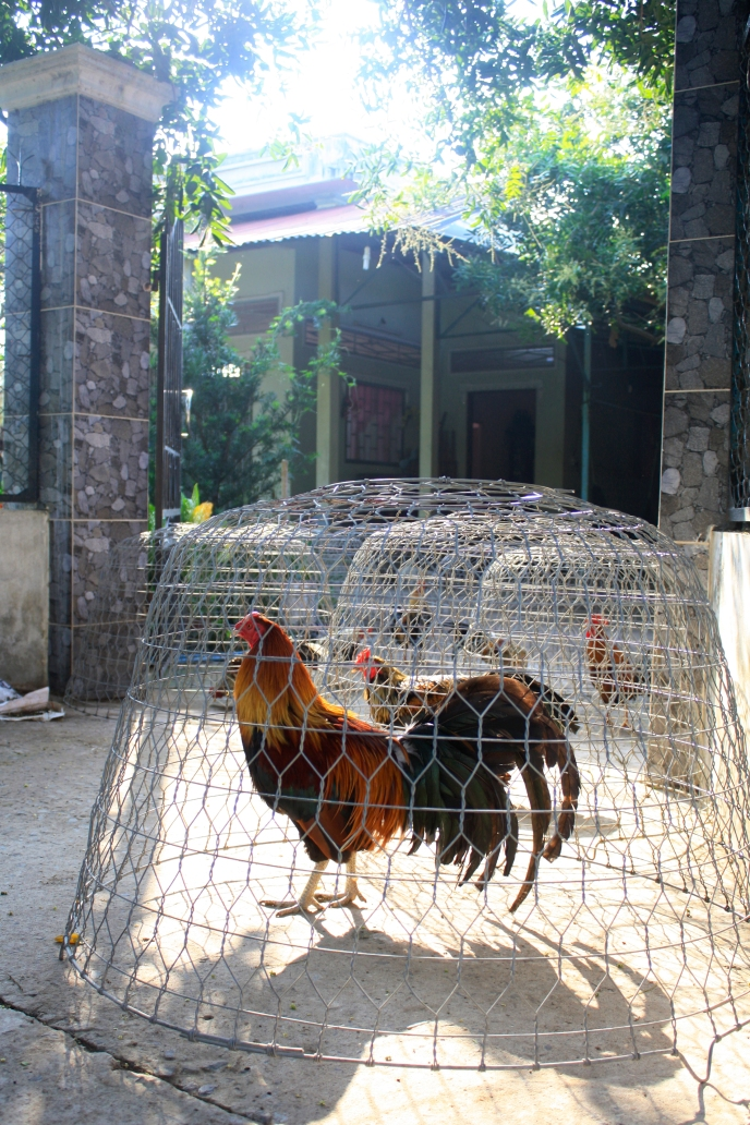Caged Roosters in the Delta