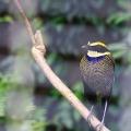 cagedbird1