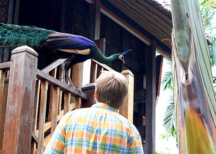 jim and peacock in Bali Bird Park