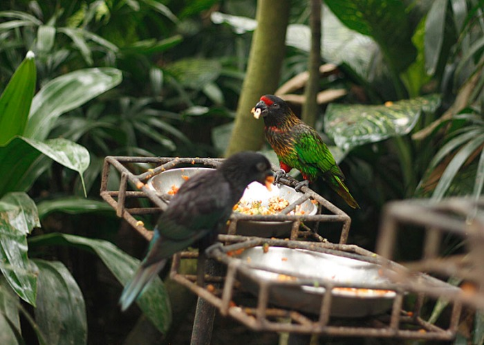 Lorry feeding at the Bali Bird Park