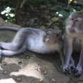 Monkeys in Ubud, Bali