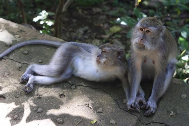 Monkeys in Ubud, Bali