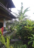 the back garden of our house in the ricefields