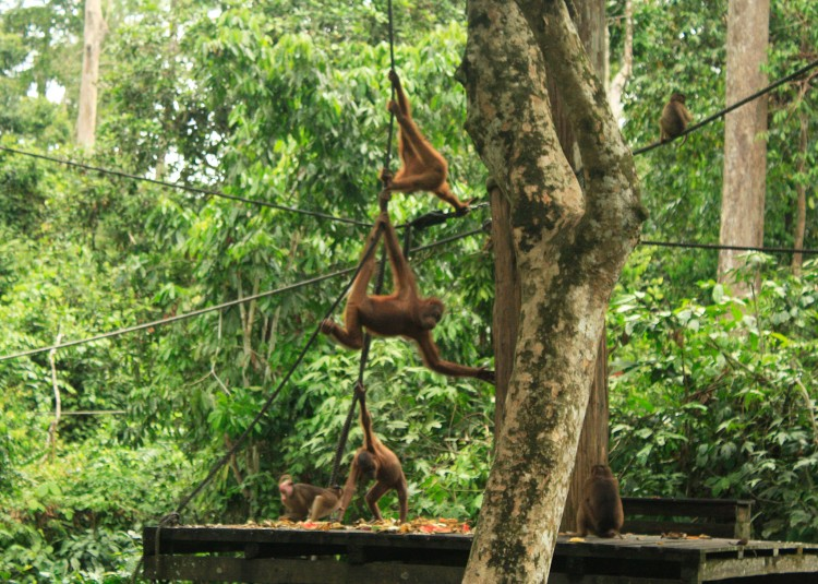 Sepilok Orangutan Rehabilitation Center
