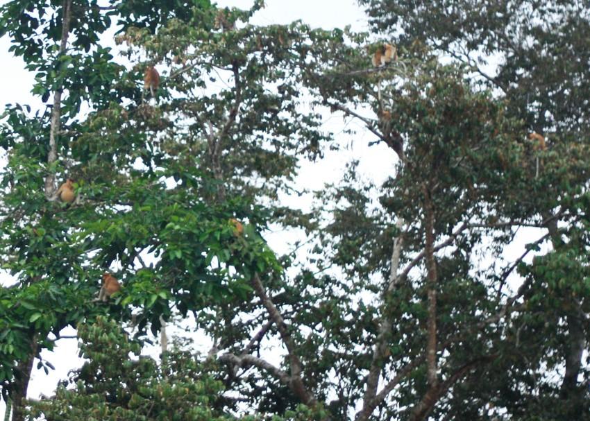 probiscus monkeys, sabah
